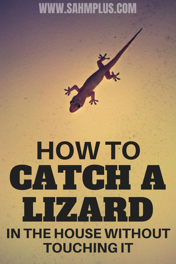 How to catch a lizard in the house and release it outside without calling on the guys and without touching it | sahmplus.com