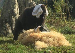 funny gorilla with a blanket on his head