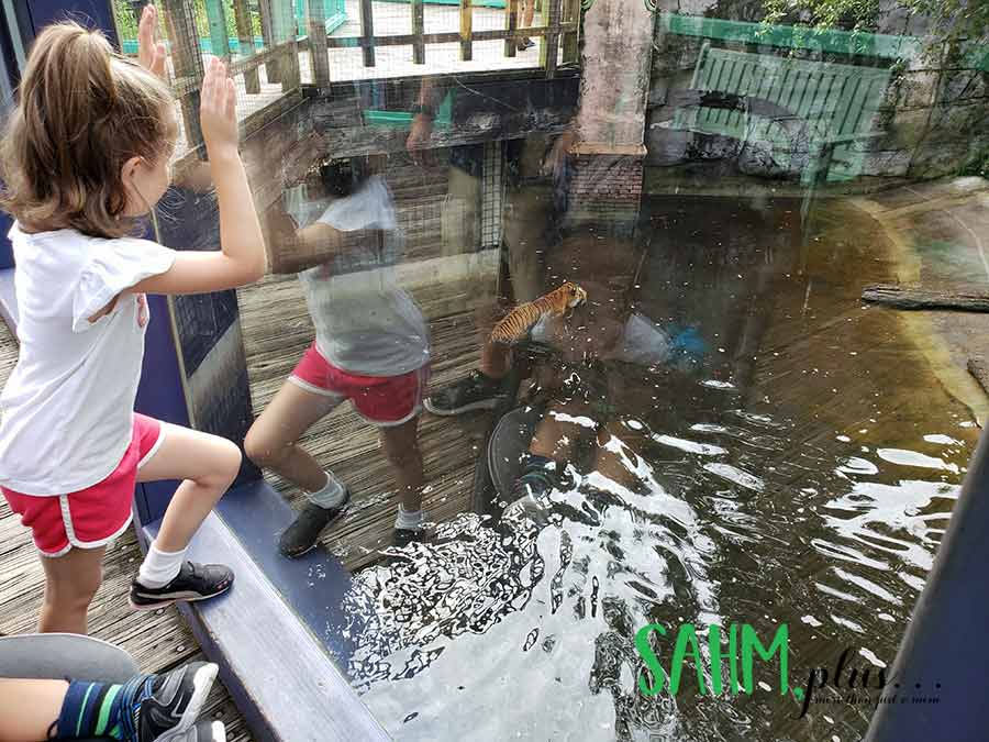Child watching tiger swimming at Zoo Tampa | sahmplus.com